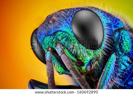 Extreme sharp and detailed study of 6 mm Cuckoo wasp (Holopyga generosa) taken with 10x microscope objective stacked from many shots into one very sharp photo.  - stock photo