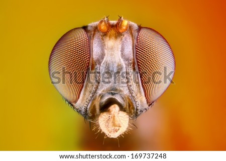 Extreme sharp and detailed study of 3 mm fly head taken with microscope objective stacked from many shots into one photo - stock photo