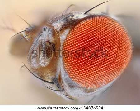 Extreme sharp 25x close up of the eye of Drosophila melanogaster, the common fruit fly. - stock photo