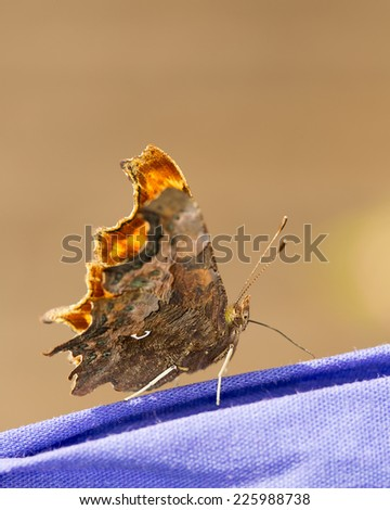 Extreme side profile close up of a Comma butterfly (Polygonia c-album) basking on purple laundry on a sunny day in England - stock photo