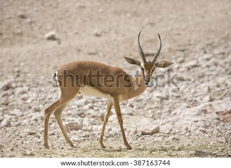 Extremely shy wild female Dorcas Gazelle (Gazelle dorcas) or Ariel Gazelle in  rock desert and sand dunes - stock photo
