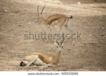 Extremely shy wild female Dorcas Gazelle (Gazelle dorcas) or Ariel Gazelle lying down basking in the sun in rock desert and sand dunes - stock photo