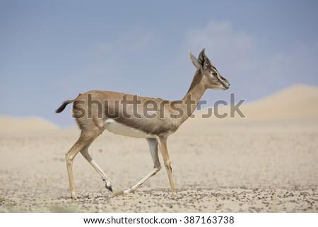 Extremely shy wild female Gazelle (Gazelle arabica) in the desert sand dunes of the United Arab Emirates near Dubai. - stock photo