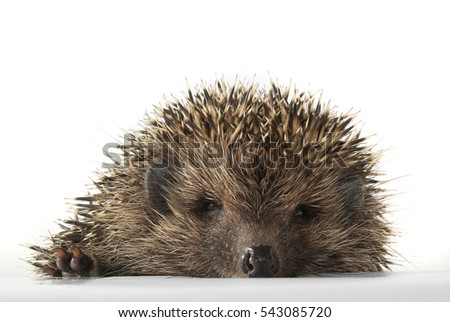 eye and muzzle hedgehog largely