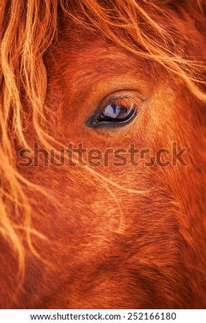 Eye beautiful red horse in winter outdoors. Russian farm - stock photo