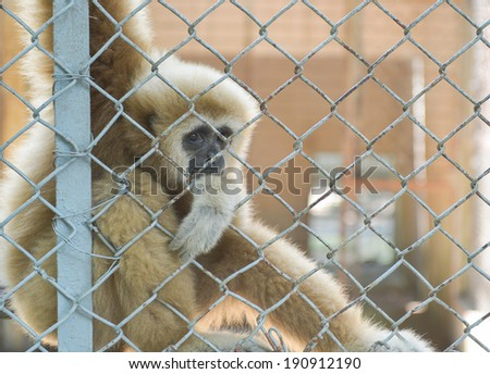 eye contact from gibbon