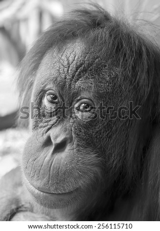 Eye contact with orangutan female close up. Face portrait of the most expressive animal, great human-like ape with hair dress in grunge style. Black and white image. Inimitable beauty of the wildlife. - stock photo