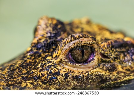 eye crocodile - stock photo