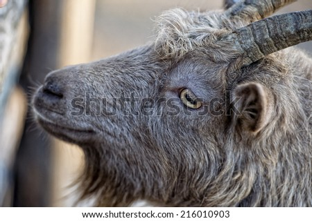 Eye detail of Brown goat sheep while looking at you close up portrait