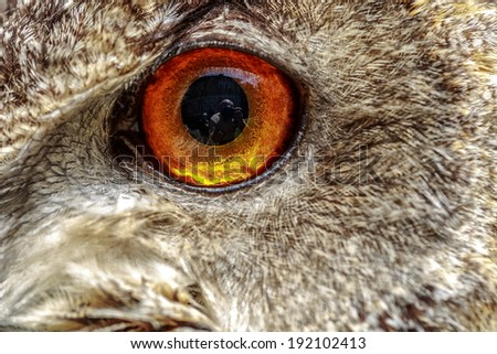 eye eagle owl close up