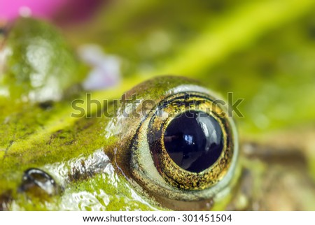 eye frog - stock photo