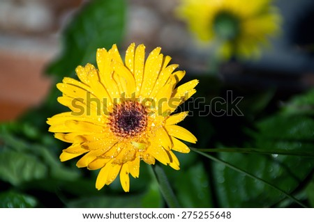 Eye level view of a yellow- orange Gerbera flower in bloom after rain in the sunshine. - stock photo