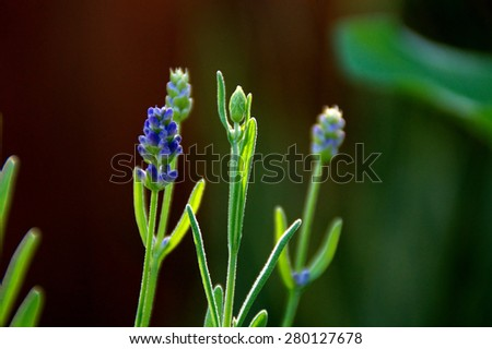 Eye level view of lavender flowers in various states of growth before blooming with shallow depth of field. - stock photo