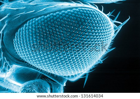 Eye of a fruit fly, Drosophila melanogaster, scanning electron microscopy - stock photo