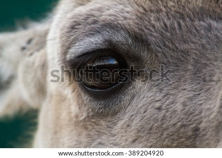 eye of a lama
