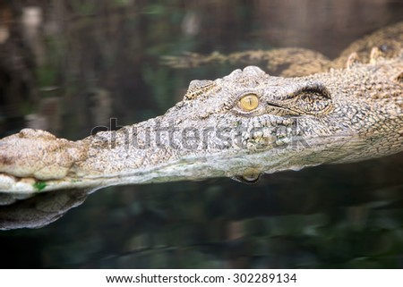 Eye of a saltwater crocodile - stock photo