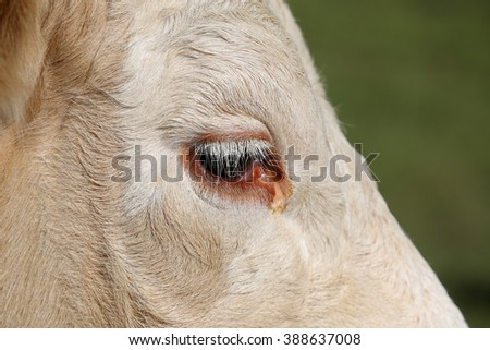 Eye of a Simmental cow in Switzerland - stock photo