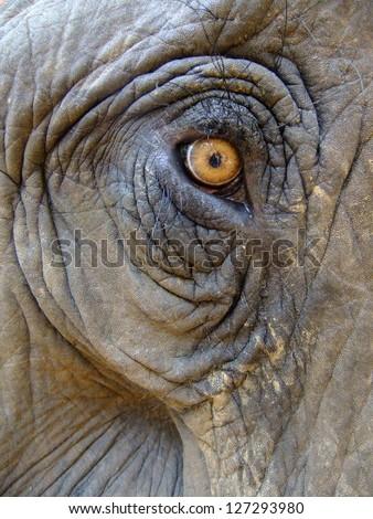 Eye of an elephant (Elephas maximus) - stock photo