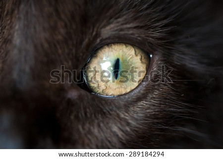 Eye of black cat closeup. Macro shot.