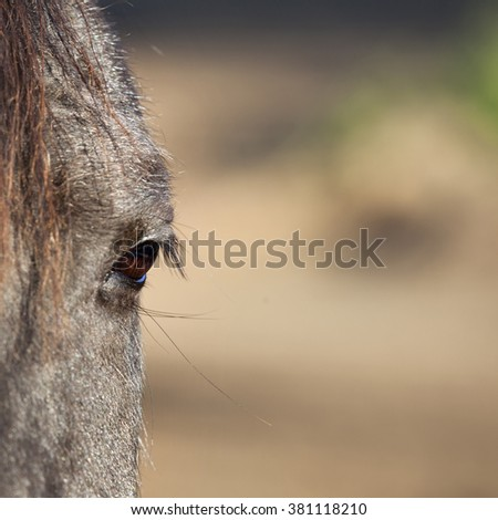 eye of dark old horse with grey hair and sunny background - stock photo