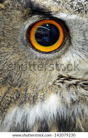 Eye of Eurasian Eagle Owl