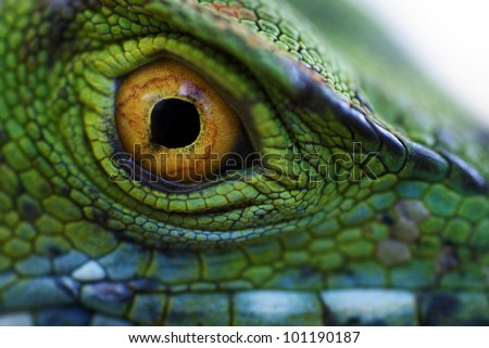 Eye of green basilisk (Basiliscus plumifrons)
