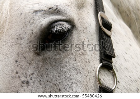 Eye of the white horse. Languishing look under lashes. - stock photo