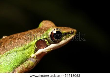 Eye of tree frog - stock photo