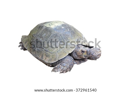 eye of turtle (selected focus) with its whole body on soil ground(isolated mode and have clipping path) - stock photo
