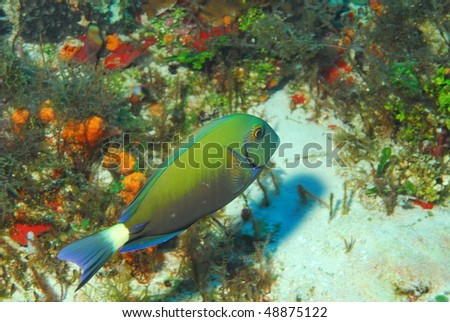 eye-striped-surgeonfish