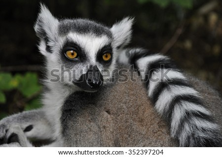 Eye to eye contact with a ring-tailed lemur, Madagascar cat, with human like face  - stock photo