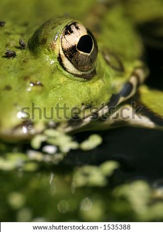 eye to eye look of a frog - stock photo