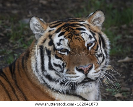 Eye to eye with a beautiful Siberian tiger female. Face portrait of the biggest cat, lying on blur gray background. The most dangerous and mighty beast of the world. Very powerful and dodgy raptor.