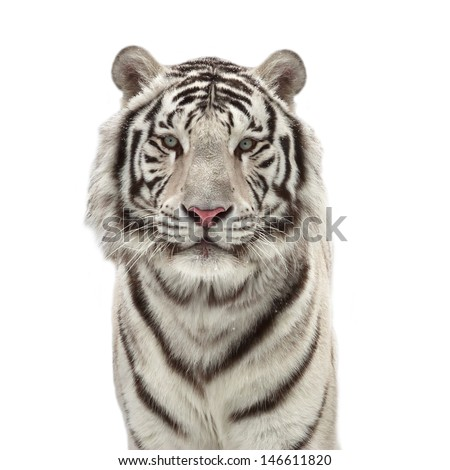 Eye to eye with a snowy white bengal tiger, isolated on white background.