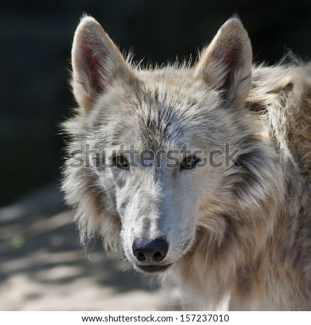 Eye to eye with an arctic wolf. The molting polar wild dog, representative of severe and cold North. Wild beauty of the nature. The sunlit head of the dangerous beast. - stock photo