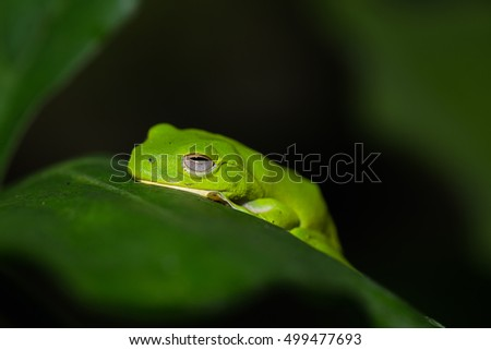 eyed tree frog or gaudy leaf frog or Agalychnis callidryas a arboreal hylid native to tropical rainforests in Central America in panama and costa rica . Mistakenly also called the Green Tree Frog