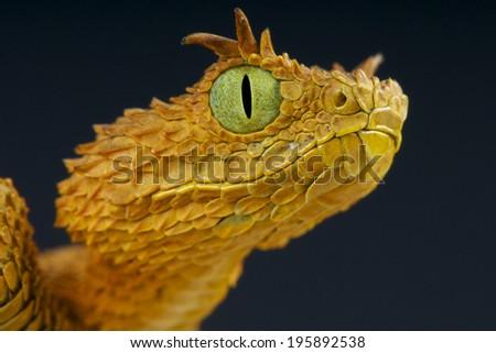 Eyelash bush viper / Atheris ceratophora - stock photo