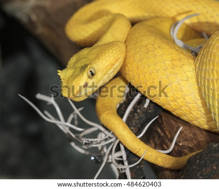 Eyelash viper (Bothriechis schlegelii) hanging in a tree, captive (native to Central and South America), Moody Gardens, Galveston, Texas, USA
