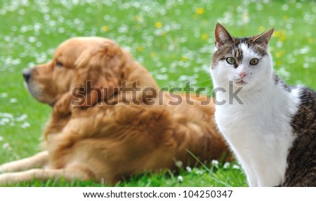 eyes of a cat in front of a golden retriever lying in the garden