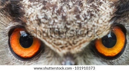 eyes of owl eagle very close up with small depth of field