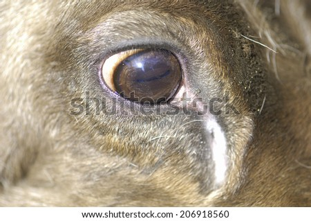 Eyes Of Reindeer