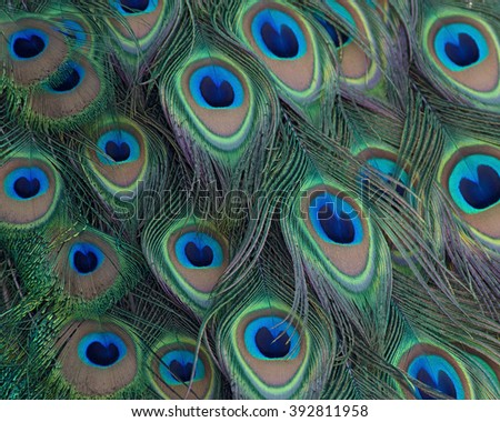 Eyespots on a peacock's train feathers.. - stock photo