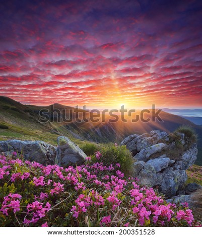 Fabulous sunrise in the mountains. Beautiful summer landscape with flowers of rhododendron. Meadow with red flowers - stock photo
