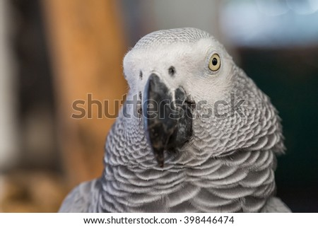 Face and eye of African Grey Parrot sitting on timber at the public park - stock photo
