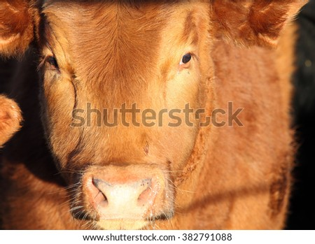 Face closeup of a red Angus Cow.