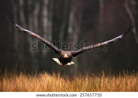 Face flight (Haliaeetus albicilla) White-tailed Eagle, birds of prey with forest in background - stock photo