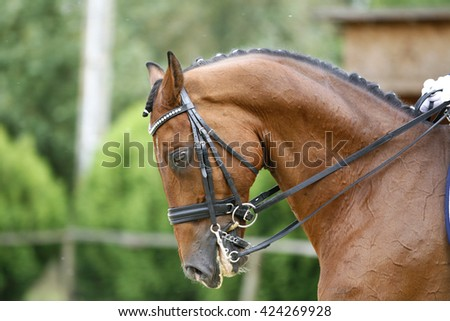 Face of a beautiful purebred racehorse on dressage training. Side view portrait of a dressage horse   - stock photo