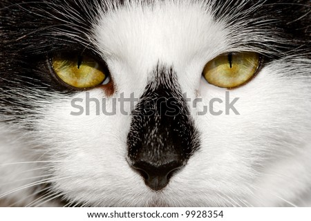 Face of a black and white cat