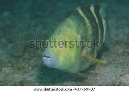 Face of a curious but grumpy Broomtail Wrasse (Cheilinus lunulatus) against black background over a tropical coral reef on the Arabian Sea coast near Fujairah in the United Arab Emirates in Arabia.