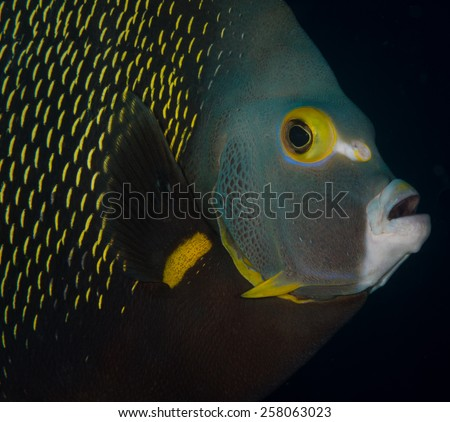 Face of a French Angelfish (Pomacanthus paru) on the Coporal Meiss dive site, Bonaire, Netherlands Antilles